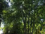 bamboo2_nobo.jpg