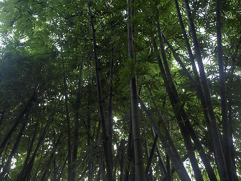 bamboo_gangara100808.jpg