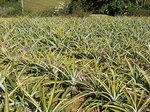 pine_field_izumi_pine.jpg