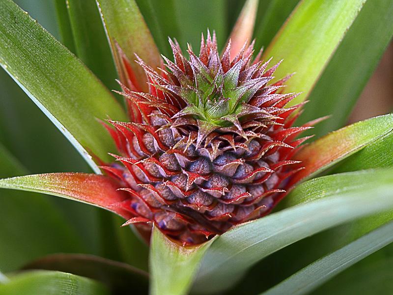 pine_fl_z2g_izumi_pine.jpg