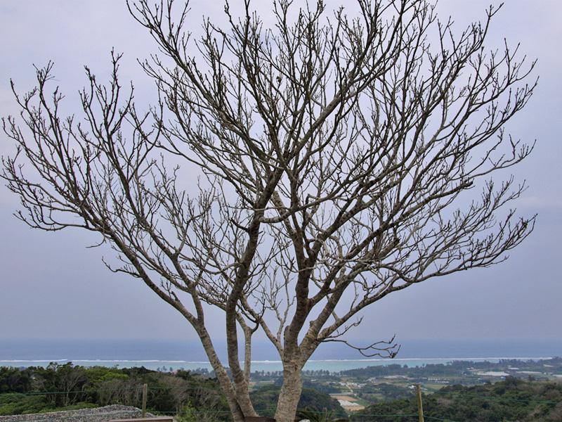 tree_sea_nakijin.jpg