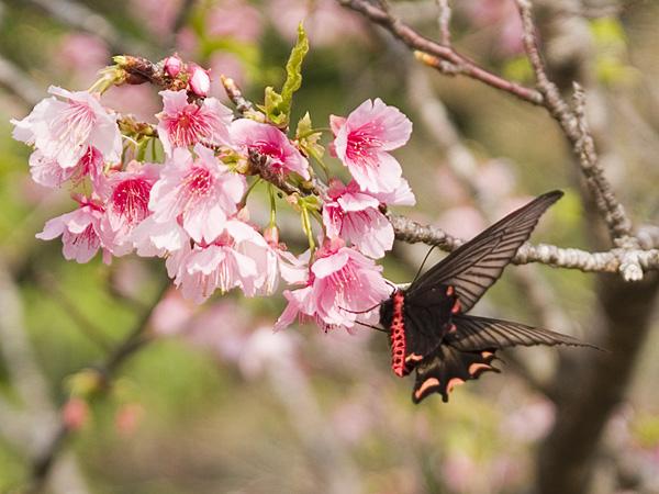 sakura14butterfly_060127.jpg